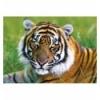 500 - Tiger [371925]